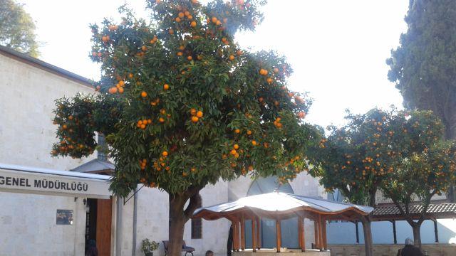 Portakal meyveleriyle dolu Antakya Ulu Camii