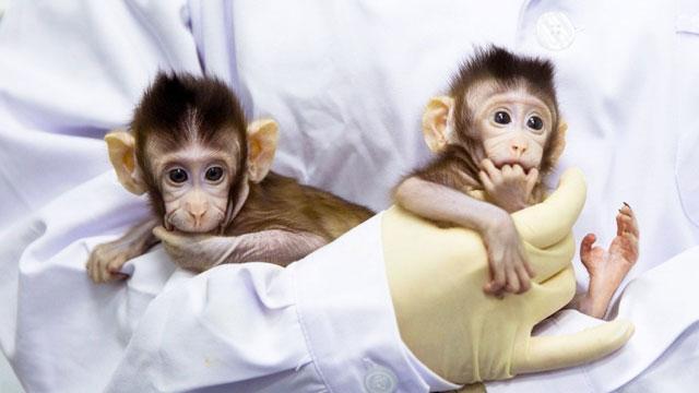 Çinli bilim adamları ilk kez maymun kopyaladı
