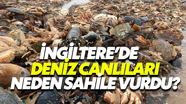 İngiltere'de Deniz Canlıları Neden Sahile Vurdu?