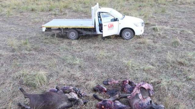 Aslanlardan kaçarken nehirde boğulan bufaloları yerel halk yedi