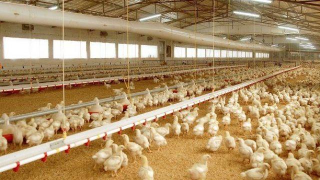 Tavuk devi Banvit'te üretim krizi yaşanıyor