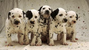 Köpekler Ne Zaman Kısırlaştırılmalıdır?