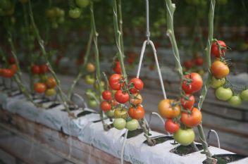 SERA-BİR Başkanı Müslüm Yanmaz: Domates en önemli ihraç ürünümüz